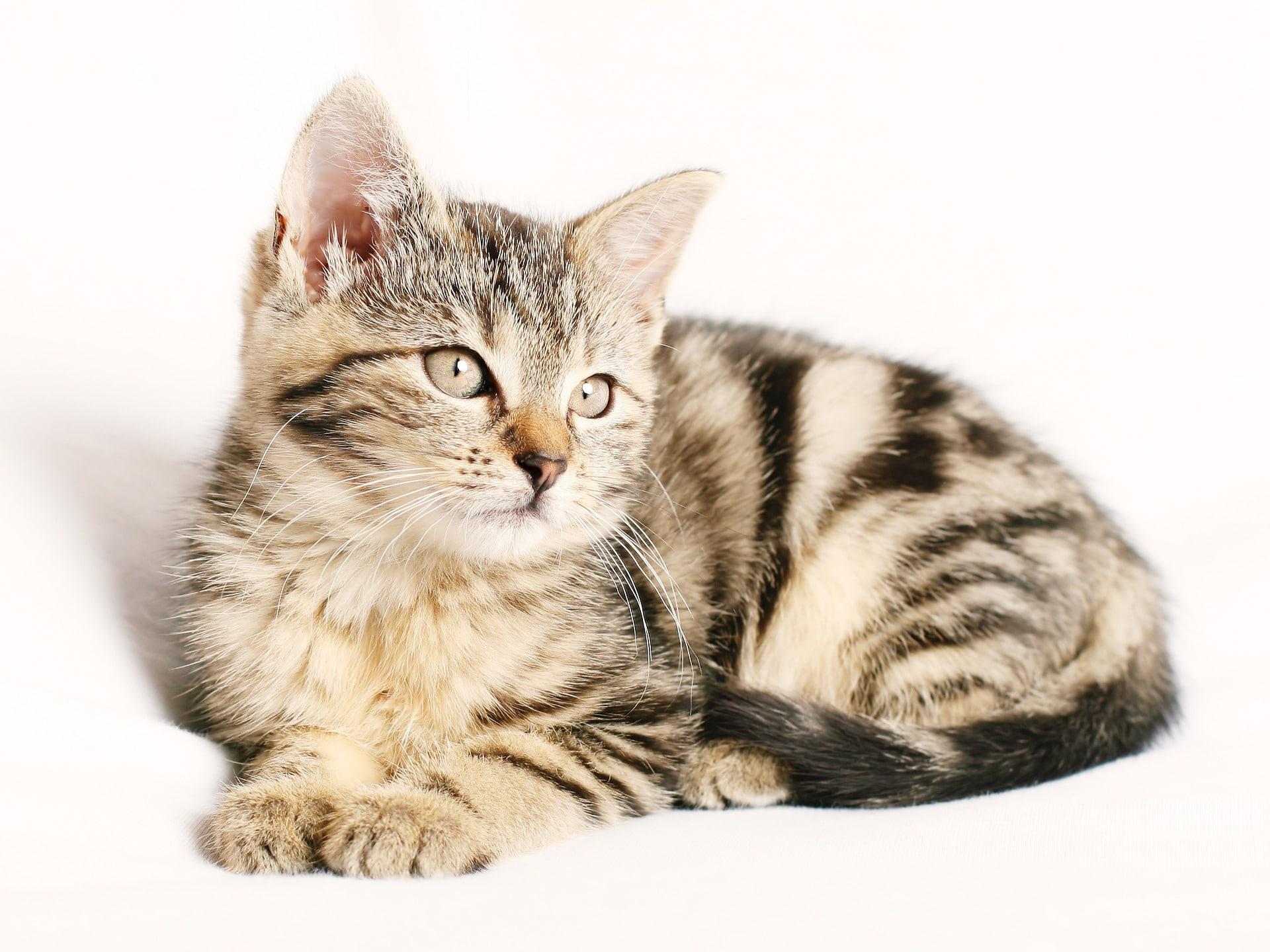 kleine Tigerkatze