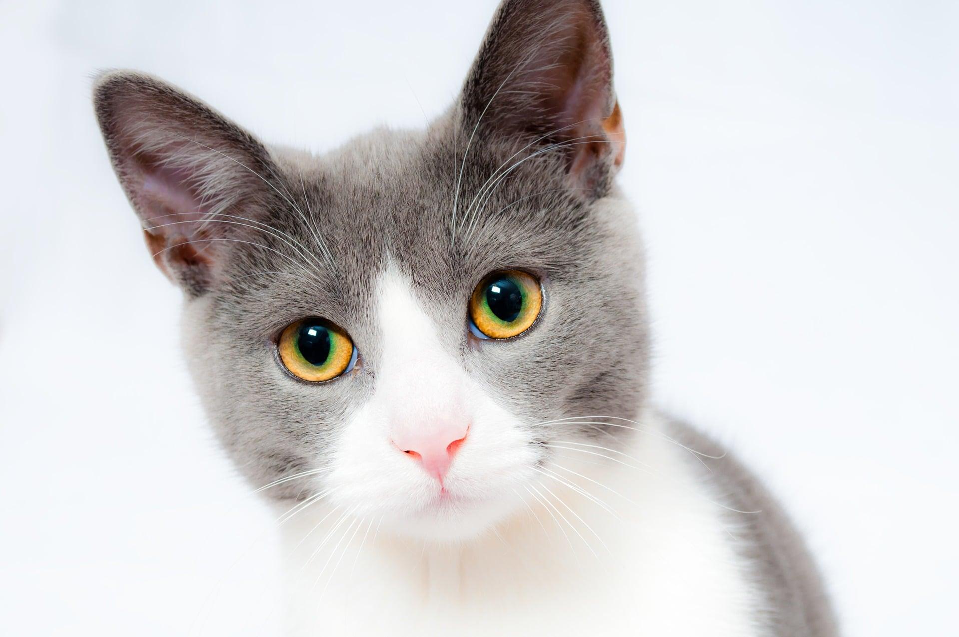 grau-weiße Katze