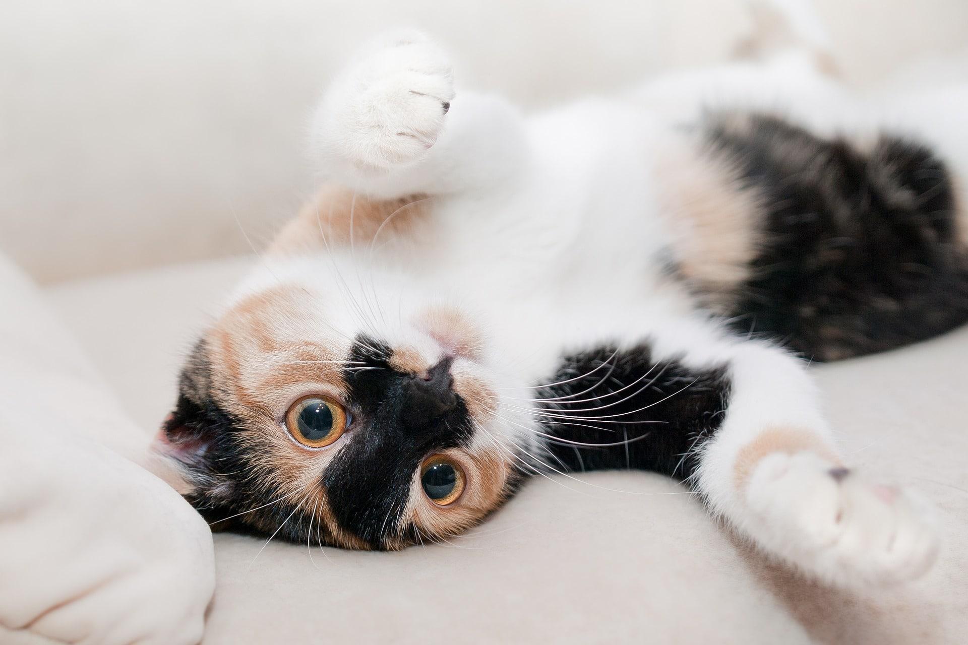 Katze rollig