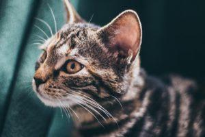 Katzenverhalten Katzenohren